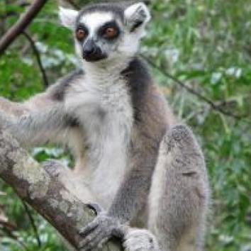 Les lémuriens sont protégés à Madagascar