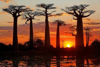 L'allée des baobabs est un lieu incontournable à voir au moins une fois dans sa vie